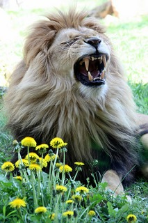 Roaring lion with flowers